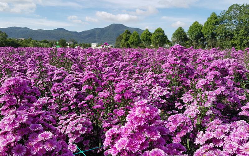 Vũng Tàu: Vườn hoa thạch thảo đang gây sốt cộng đồng mạng