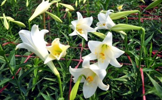 Top 15 Bài thơ hay về hoa loa kèn tháng tư