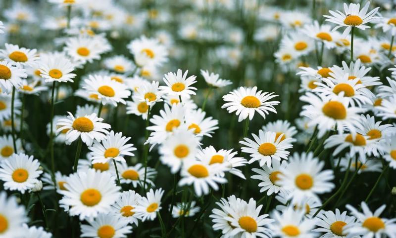 Top 10 Bài văn tả hoa cúc hay nhất