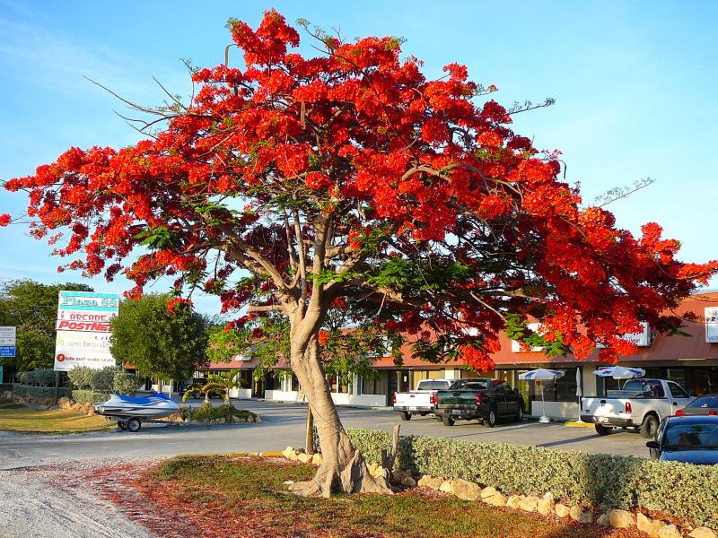 Top 12 Bài văn thuyết minh về cây phượng vĩ hay nhất