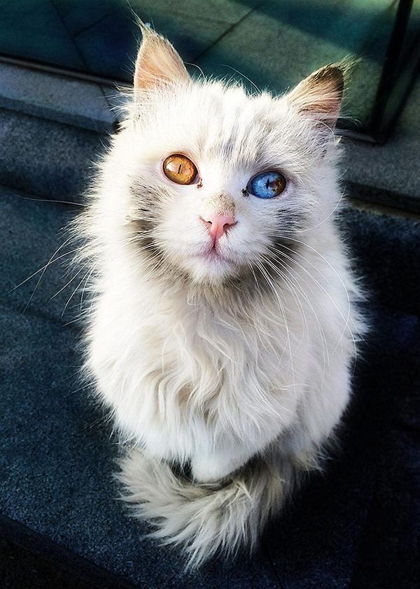 Top 8 Bé mèo có mắt hai màu đáng yêu nhất thế giới