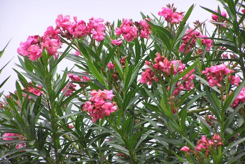Top 12 Cây cảnh độc hại được trồng phổ biến nhất hiện nay