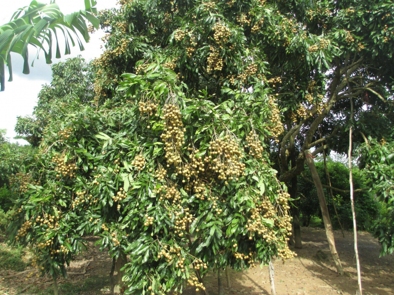 Top 10 Dàn ý bài văn tả cây ăn quả chi tiết nhất