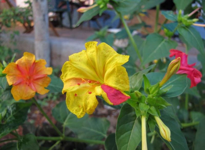 Tại Việt Nam, loài hoa này còn được biết tới với tên gọi là hoa phấn hay yên chi.