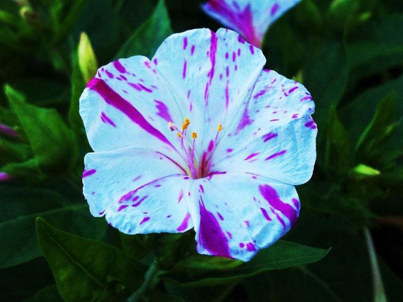 Loài hoa tỏa ra hương thơm dễ chịu nhất thế giới.