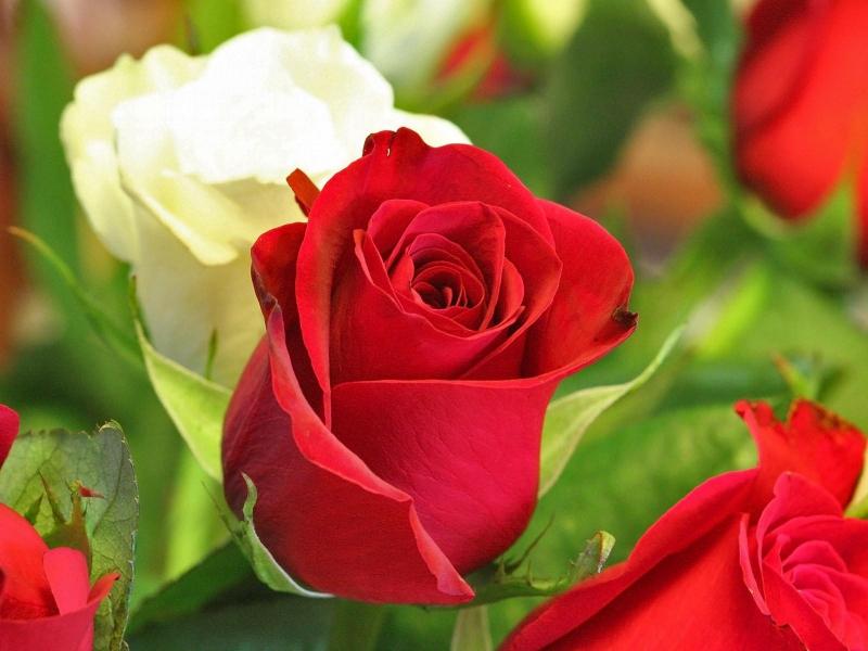 Top 10 ý nghĩa về các màu sắc của hoa hồng