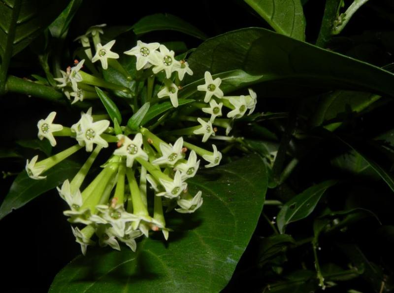 Giống cây hoa lài phát triển vào thời tiết ấm nóng.