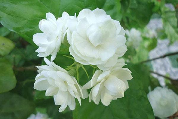 Loài hoa xinh đẹp này còn phảng phất hương thơm dễ chịu