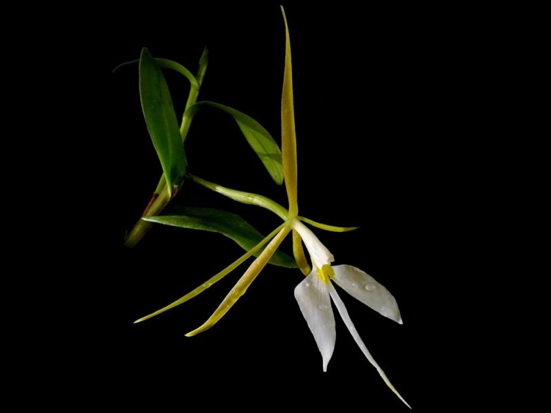 Nhan sắc yêu kiều của hoa dạ lan biểu sinh