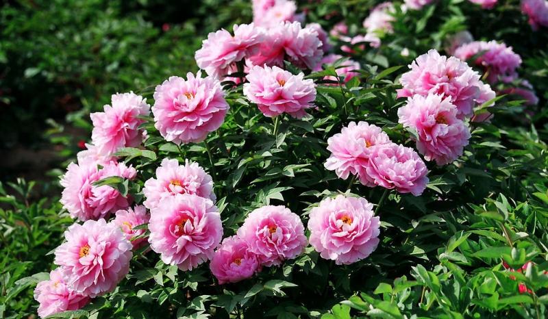 Top 20 Quốc hoa đẹp nhất thế giới và ý nghĩa bí ẩn của chúng
