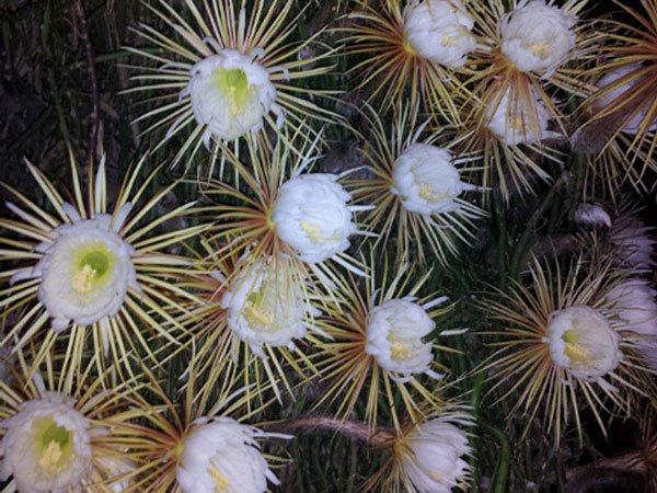 Xương rồng khế được tôn vinh là loài hoa đẹp nhất trong số các loài hoa xương rồng từng được biết