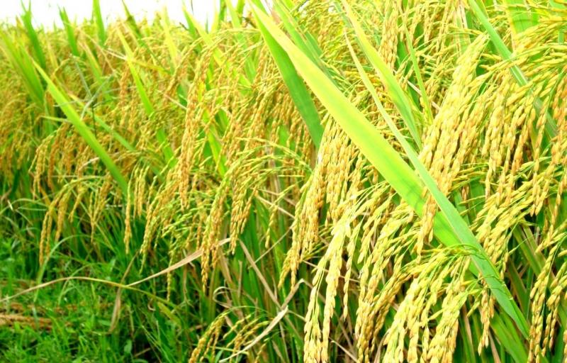 Top 7 Dàn ý bài văn tả cánh đồng lúa chín chi tiết nhất