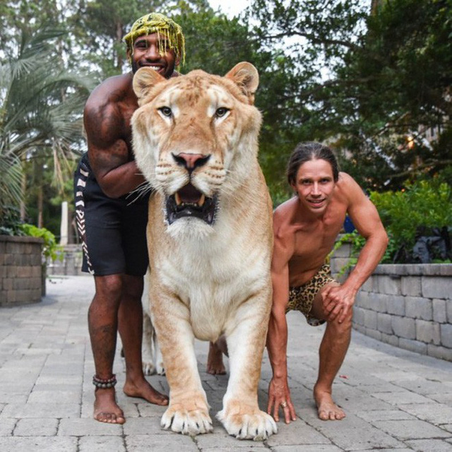 Youtuber khoe sư tử lai hổ siêu to khổng lồ, còn tranh thủ đi dạo với nó và cái kết đắng lòng