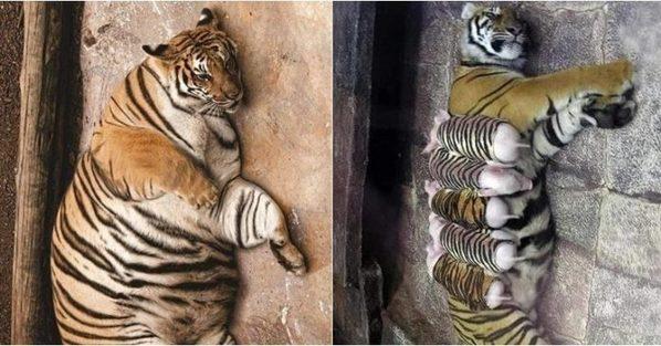 Hổ con yểu mệnh, nhân viên vườn thú thả lợn con vào an ủi hổ mẹ xoa dịu nỗi đau