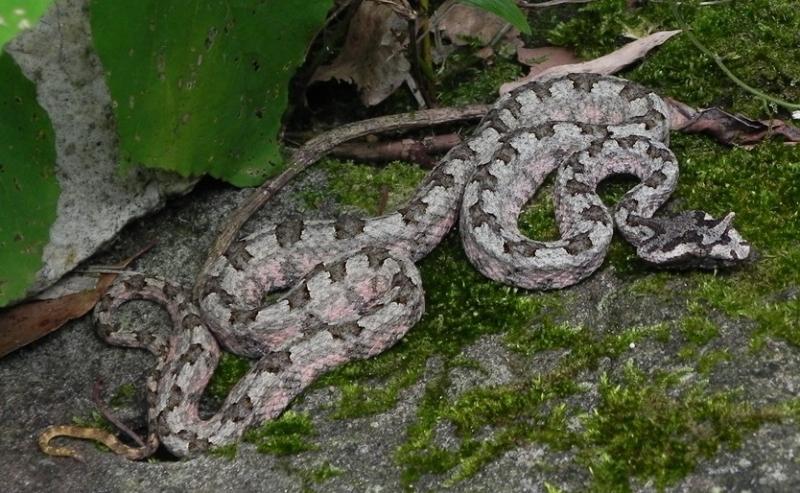 Top 10 Loài rắn độc và nguy hiểm nhất ở Việt Nam