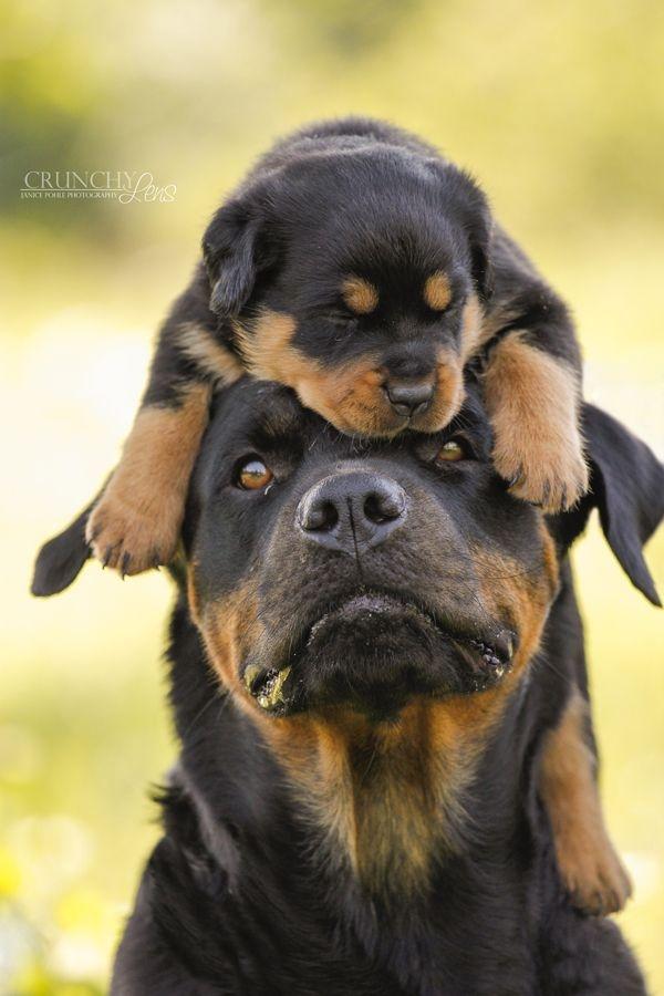 Top 10 Loài chó cảnh thông minh nhất thế giới