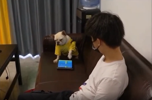 """Đang chơi game thì bị chủ phá, chú chó """"bá đạo"""" ném luôn iPad, quay sang lườm nguýt khiến cộng đồng mạng cực kỳ nể phục"""