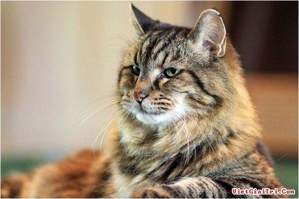 Top 10 Bé mèo có cân nặng khủng nhất thế giới.