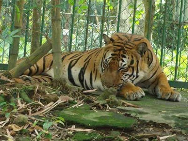 Top 5 Bài văn Phân tích hình tượng con hổ trong bài thơ Nhớ rừng (Thế Lữ) (Ngữ văn 8) hay nhất