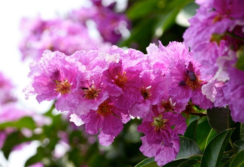Top 13 Bài thơ hay nhất về hoa bằng lăng