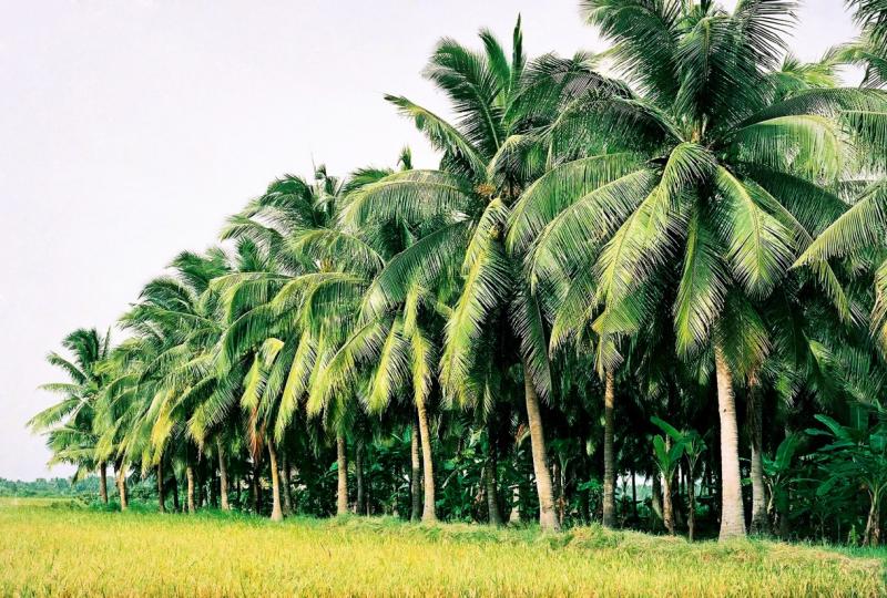 Top 10 Bài văn tả cây dừa hay nhất
