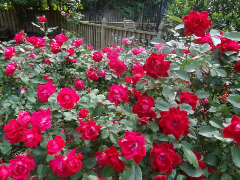 Top 10 Bài văn tả hoa hồng hay nhất