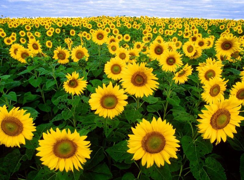 Top 10 Bài văn tả hoa dướng dương hay nhất