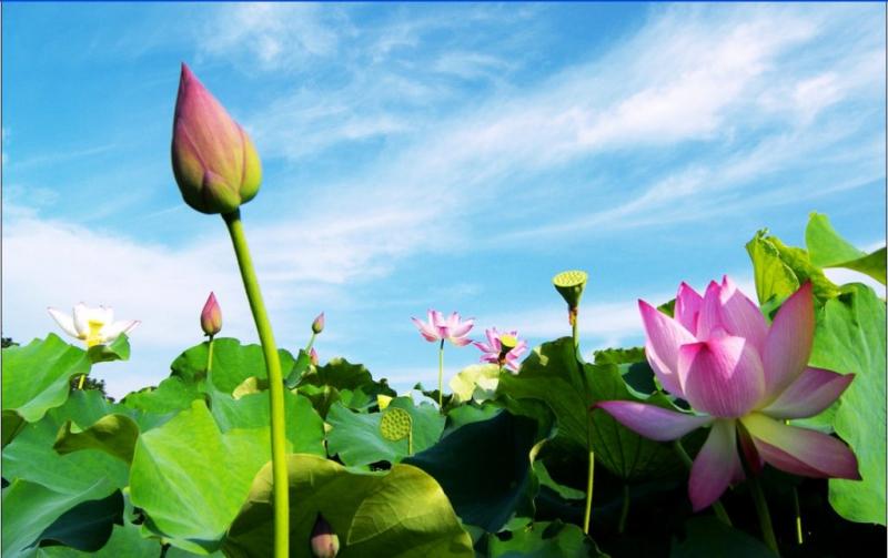 Top 10 Bài văn tả hoa sen hay nhất