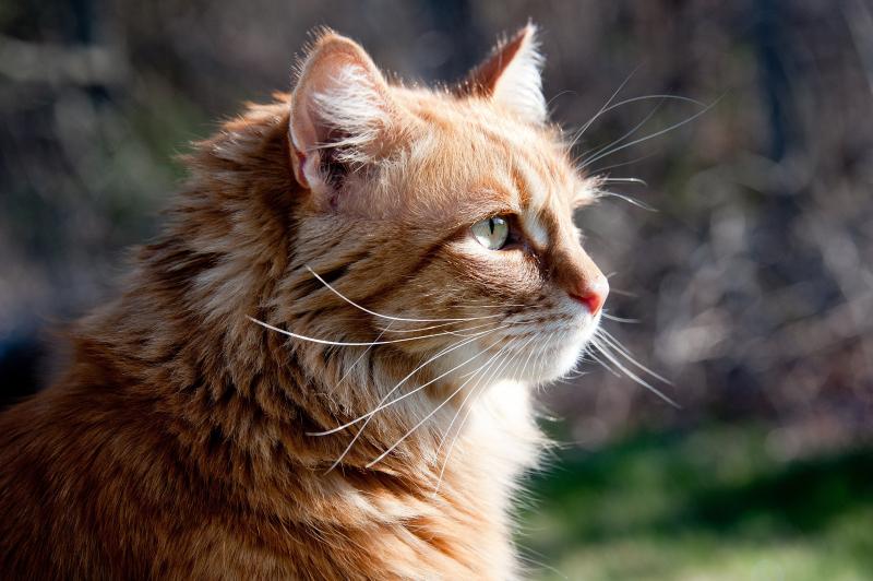 Top 10 Bài văn thuyết minh về một con vật nuôi mà em thích hay nhất