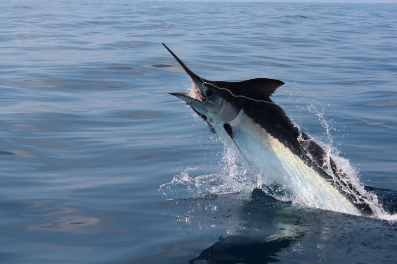 Top 10 Loài cá bơi nhanh nhất thế giới