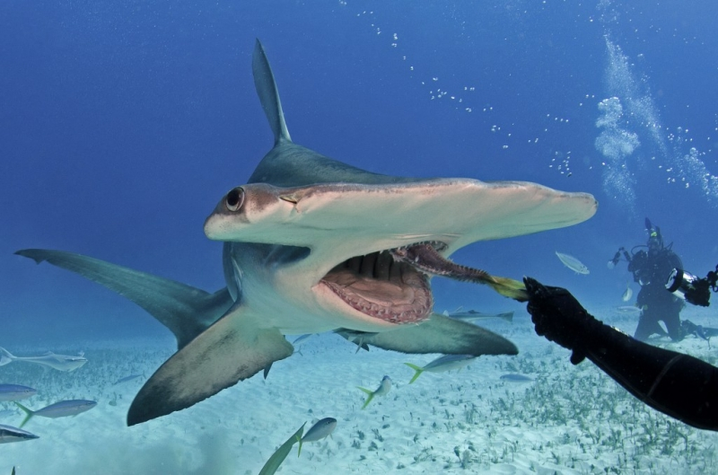 Top 10 Loài cá mập nguy hiểm nhất Đại Dương