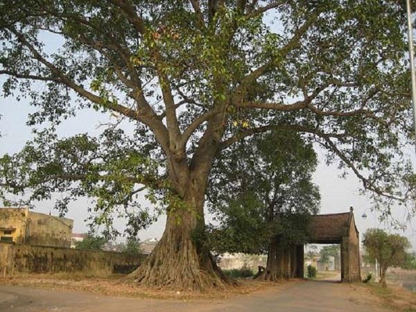 Top 14 Bài văn tả cây cổ thụ hay nhất