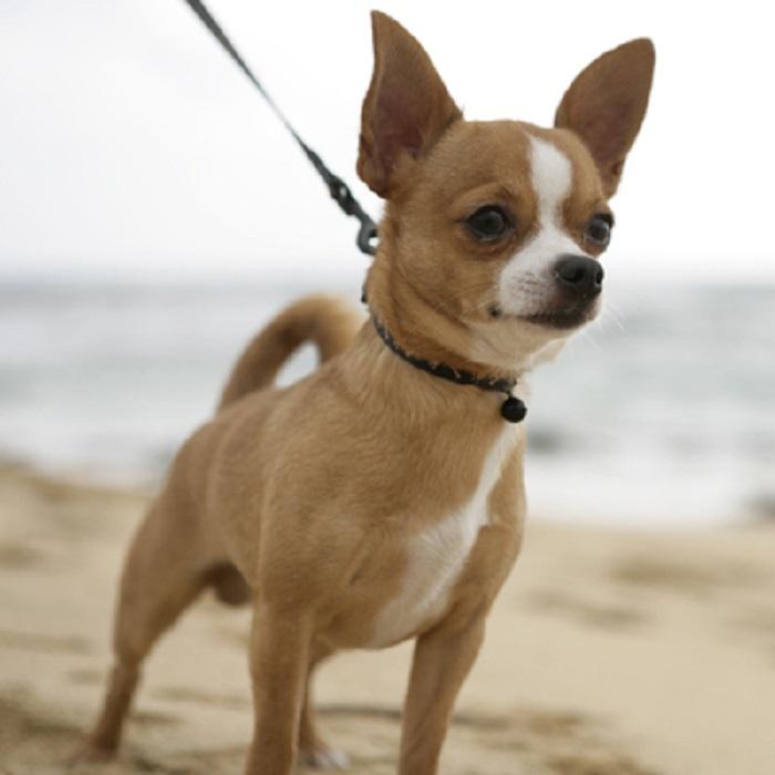 Top 15 Giống chó cảnh được nuôi nhiều nhất ở Việt Nam