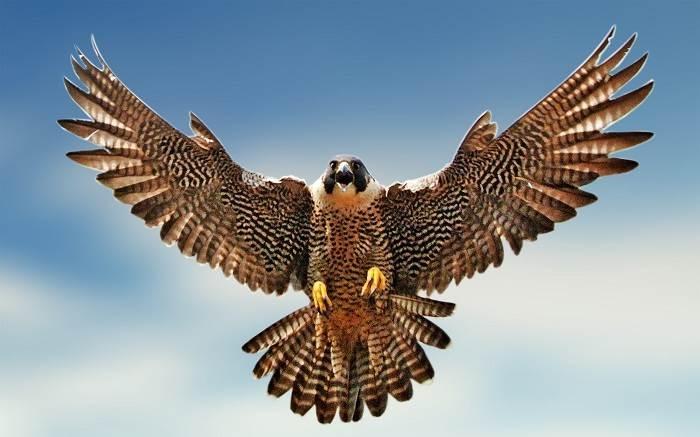 Top 10 Loài chim bay nhanh nhất thế giới