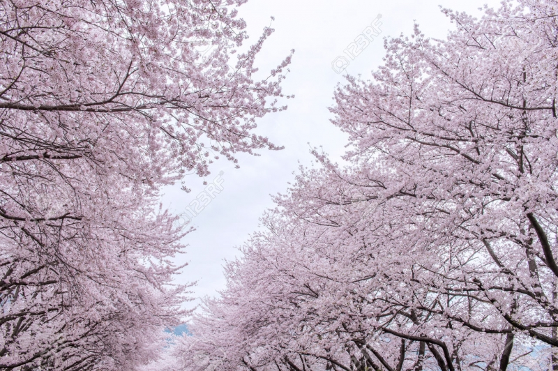 Top 11 địa điểm thưởng thức hoa anh ở Hàn Quốc có thể bạn muốn biết