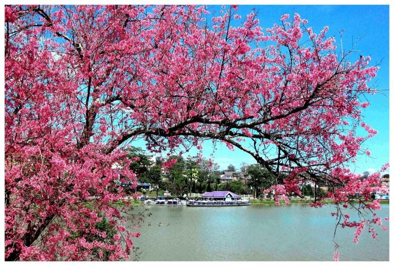 Top 7 Địa điểm ngắm hoa anh đào đẹp nhất Đà Lạt
