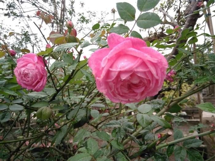Top 13 Giống hoa hồng cổ đẹp nhất Việt Nam