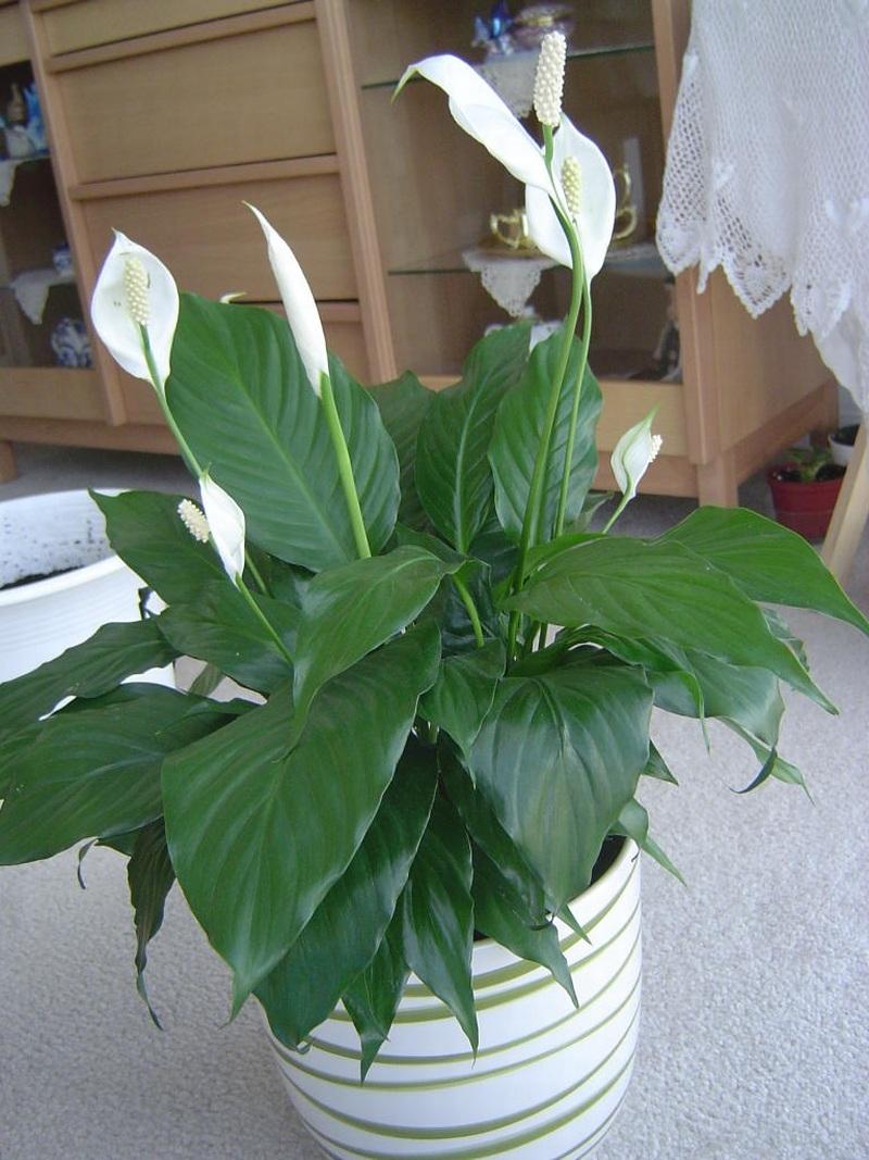 Top 10 Loài hoa đẹp thích hợp trồng trong nhà