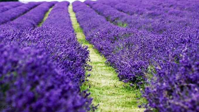 Top 10 Loài hoa màu tím đẹp nhất
