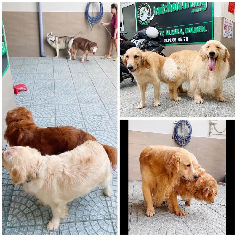 Top 6 địa chỉ phối giống chó alaska, golden và samoyed uy tín TP.HCM