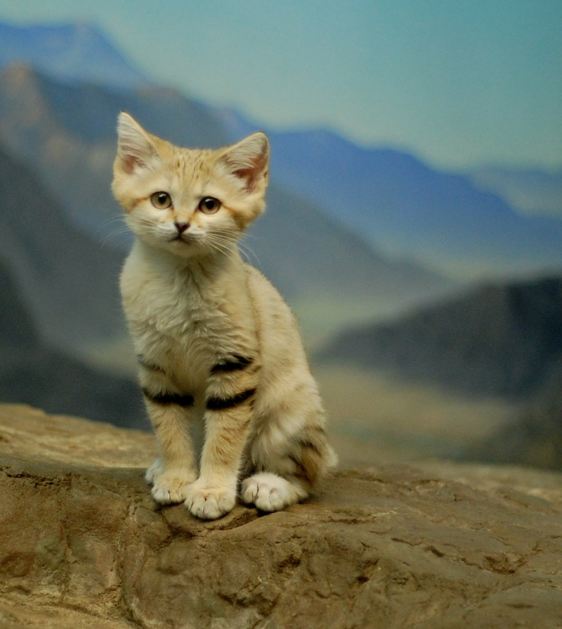 Top 10 Loài mèo hiếm nhất thế giới