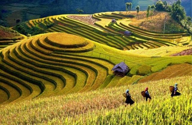 Top 11 Địa điểm ngắm đồng lúa chín tuyệt đẹp
