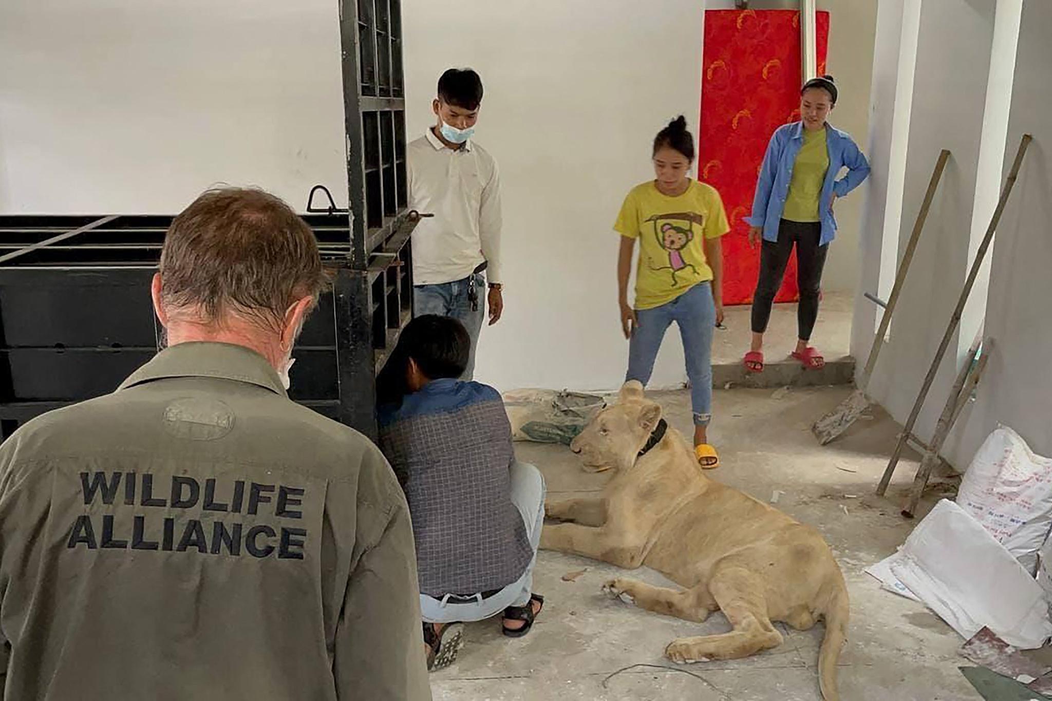 Lần theo TikTok, Campuchia tịch thu sư tử bị một người Trung Quốc nuôi làm thú cưng