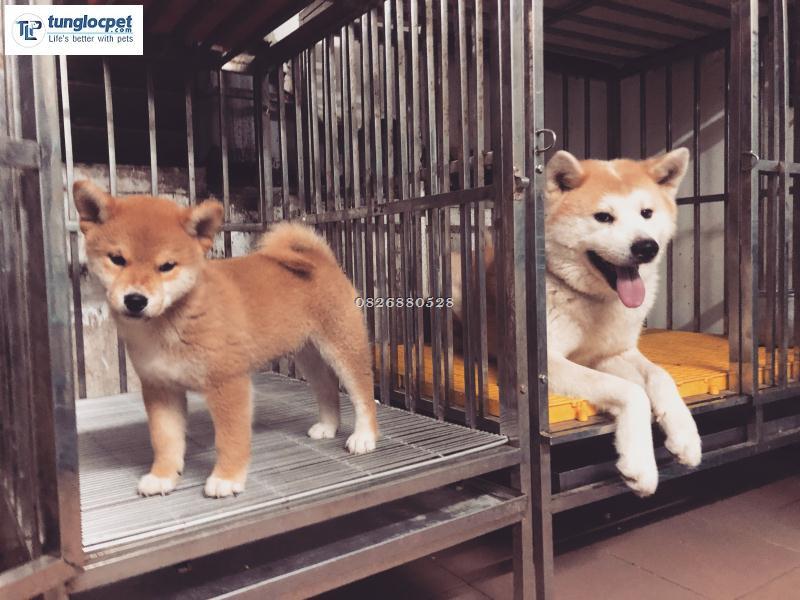 Top 5 địa chỉ mua chó Shiba Inu uy tín tại Hà Nội