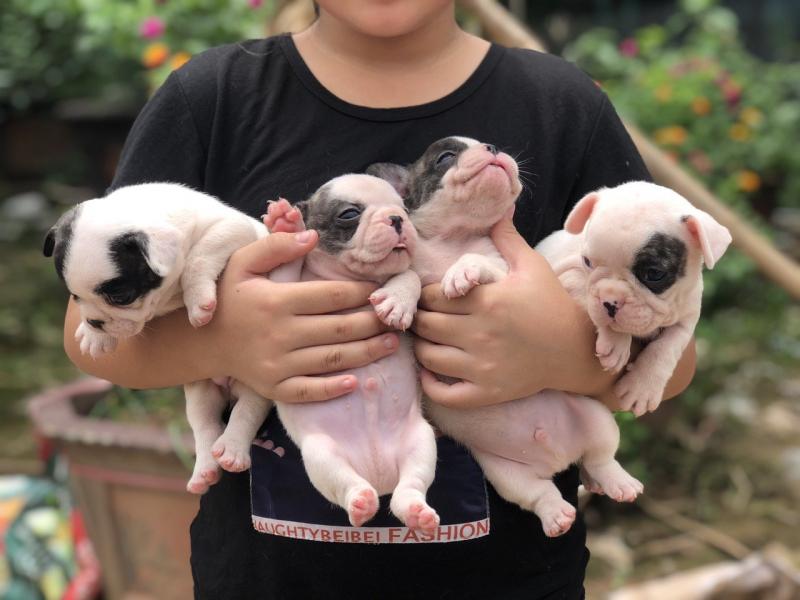 Top 5 địa chỉ mua chó bulldog Pháp uy tín tại Hà Nội