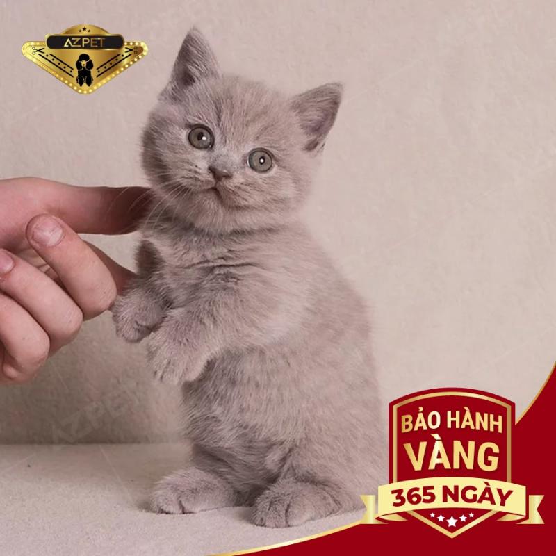 Top 4 Địa chỉ bán mèo Anh lông ngắn uy tín tại Hà Nội