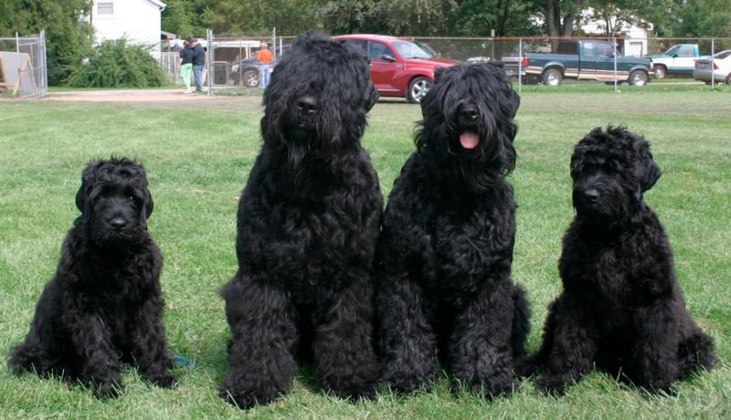 Chó Black Russian Terrier ở Nga