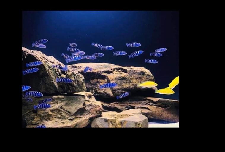 cá cảnh Ali Hoa Phượng