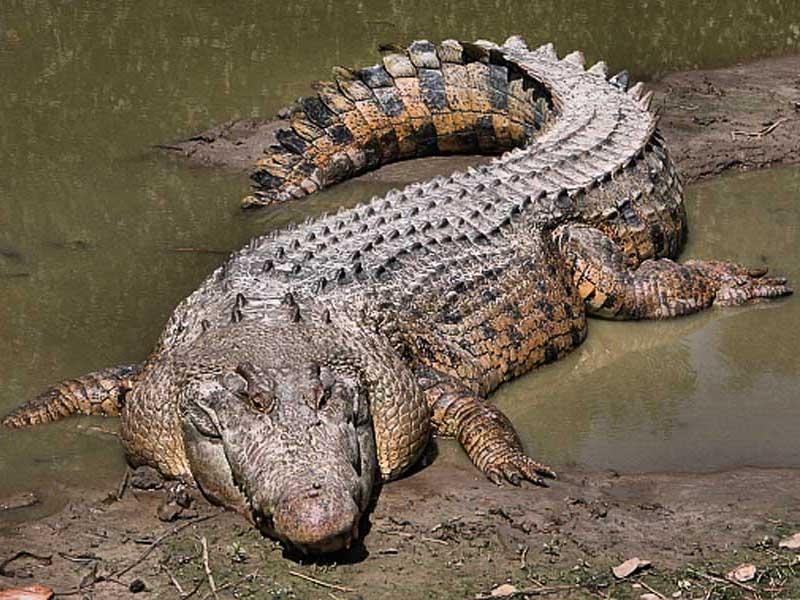 Hình ảnh một con cá sấu nước mặn với thân hình to lớn.