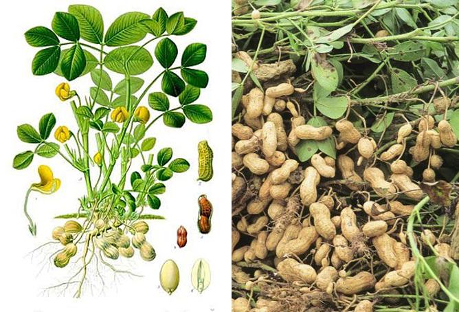 Cây đậu phộng